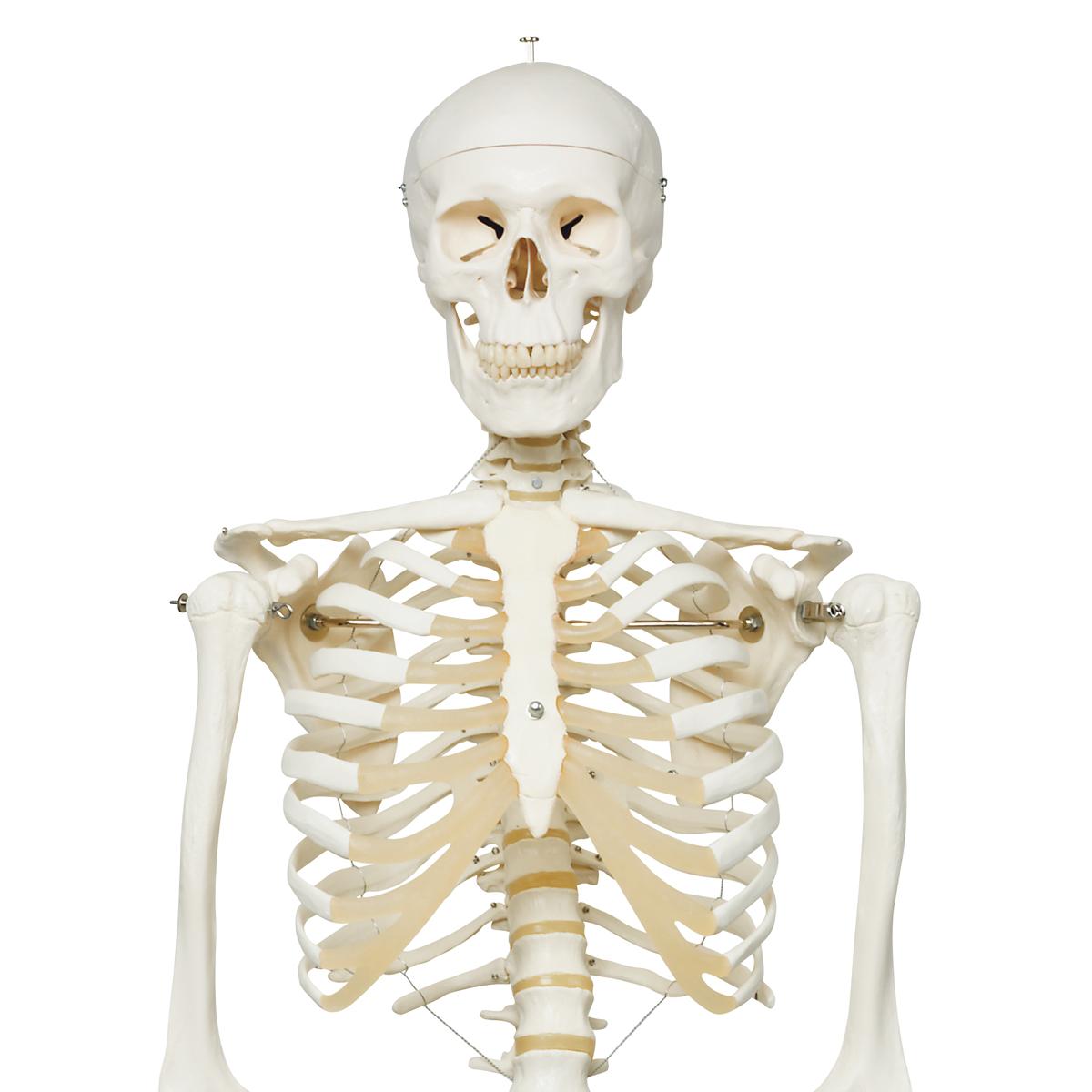 EsqueletoStanA10Sobrepiemetalicocon5ruedas