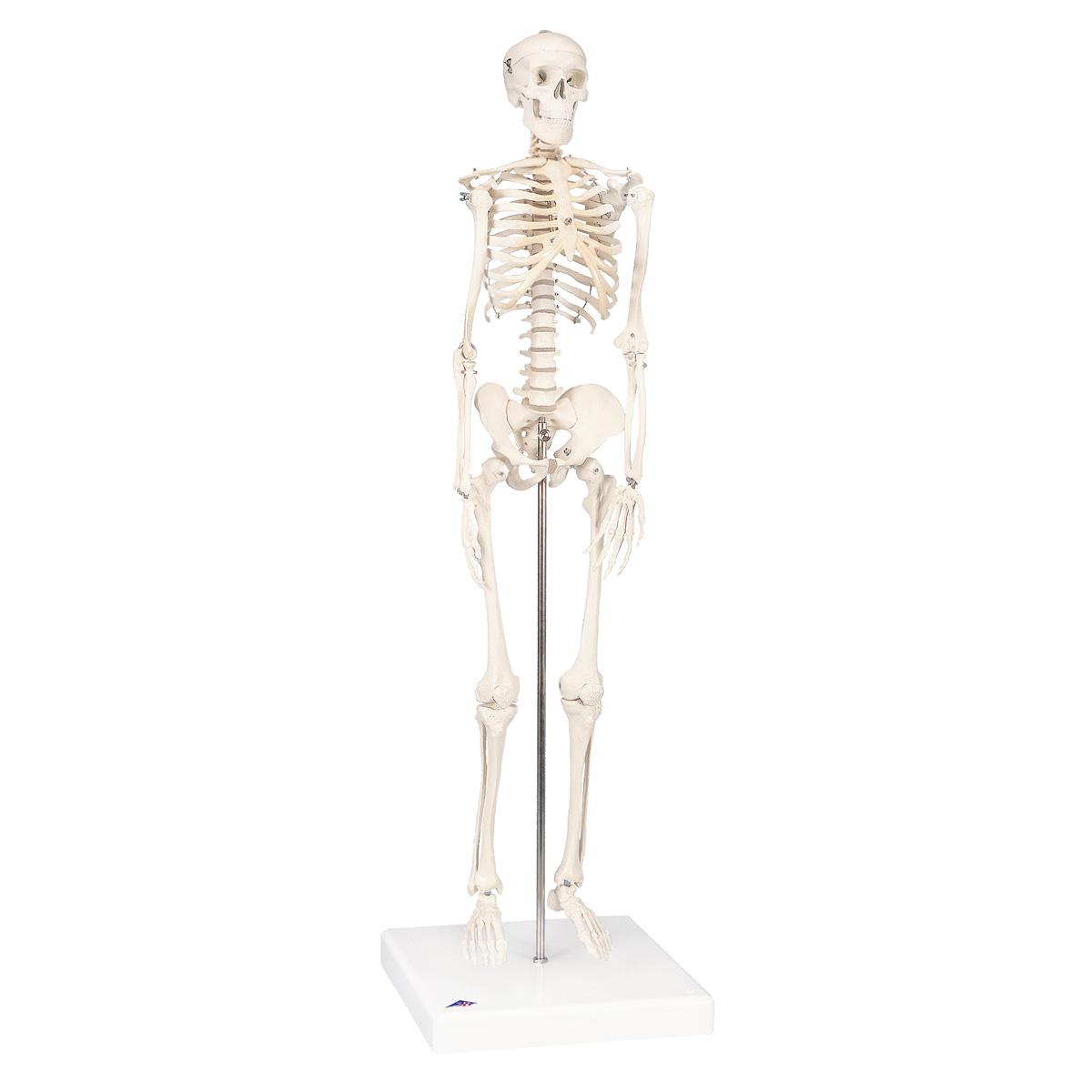Miniesqueletocompleto