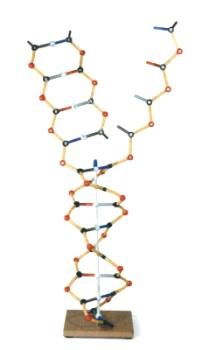 MoleculaARNdelaADNOrbit