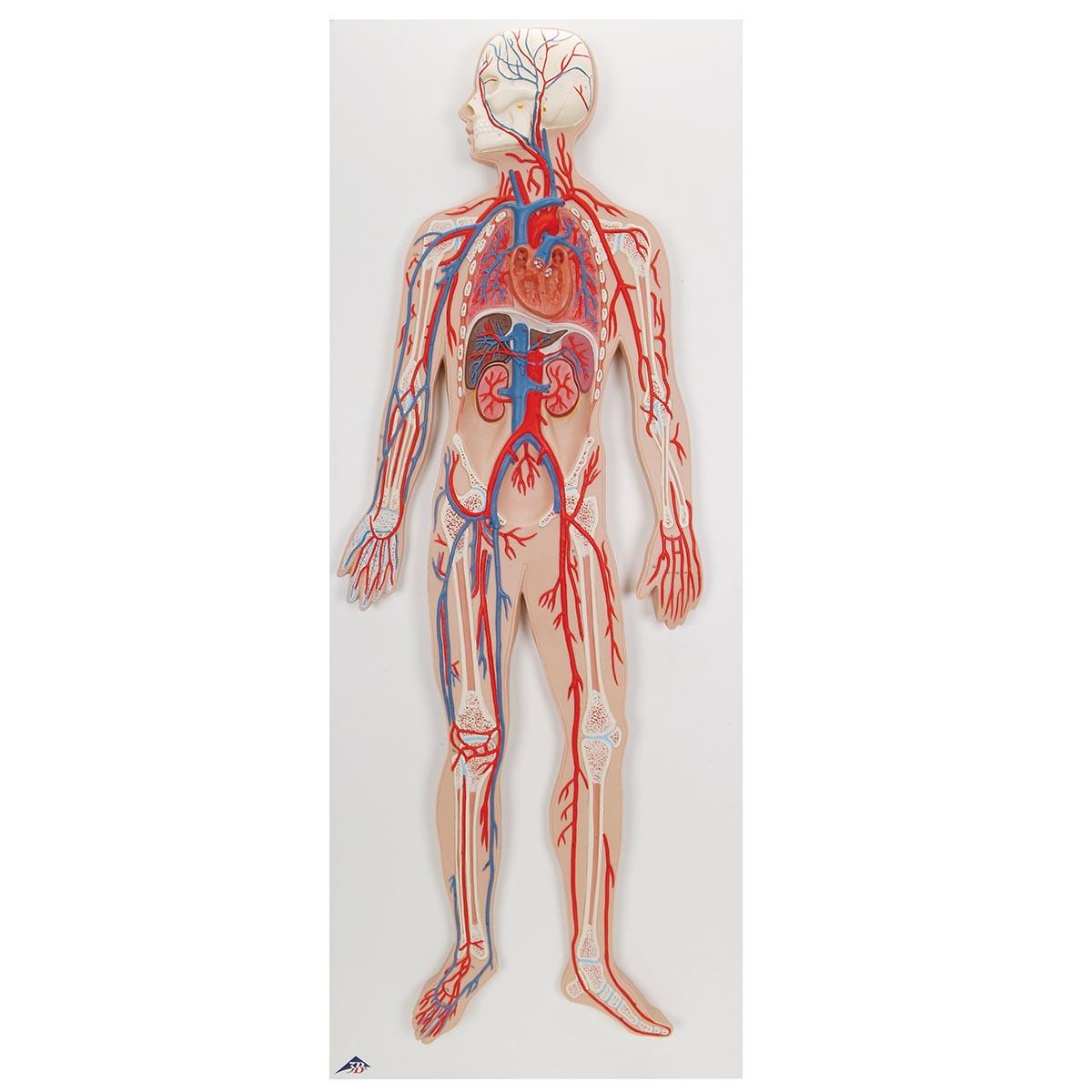 Sistemacirculatoriohumano 2nd