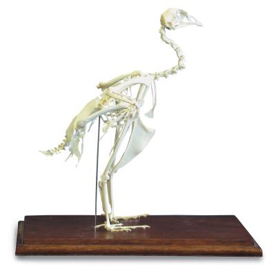 esqueletodefaisanphasianuscolchicus