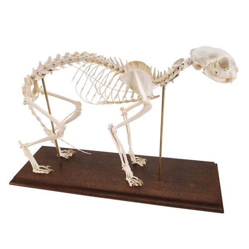 esqueletodegatodomesticofeliscatusdemontajerigido