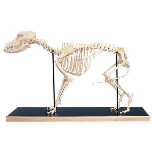 esqueletodeperrocanisdomesticusdemontajerigido