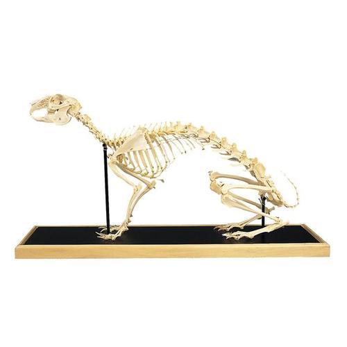 esqueletodeunaliebrelepuseuropaeus