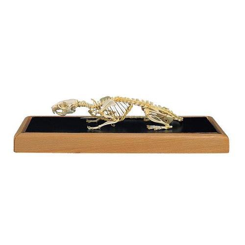 esqueletodeunaratarattusrattus