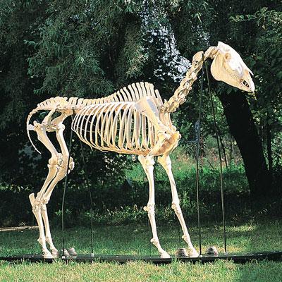 esqueletodeuncaballoequuscaballus