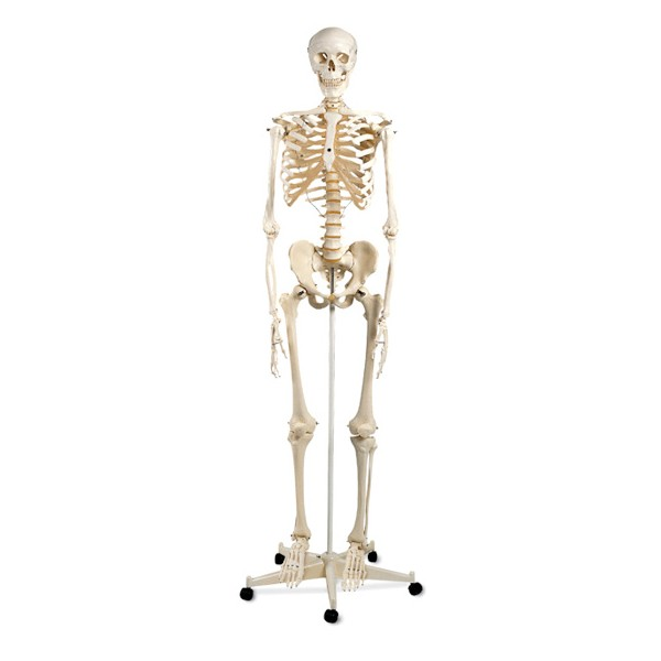 esqueletohumanoa10conidentificaciondehuesos
