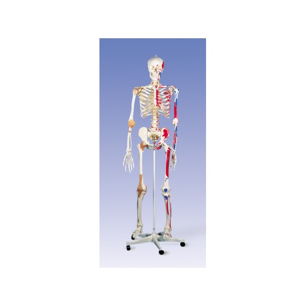 esqueletohumanomusculosyligamentos