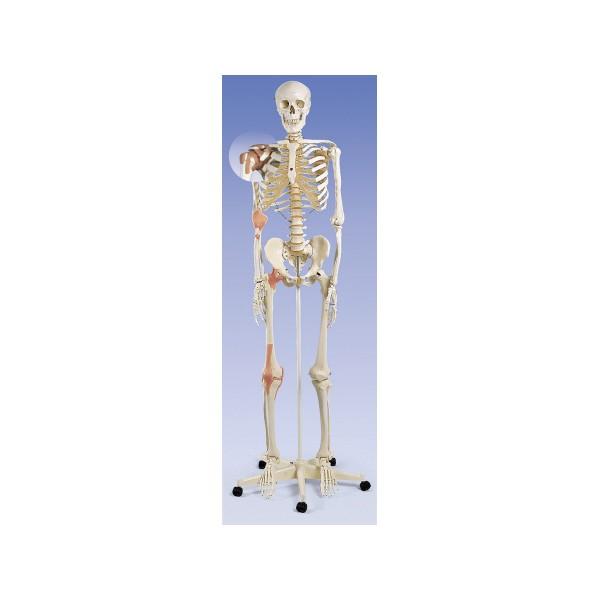 esqueletohumanorepresentaciondeligamentos