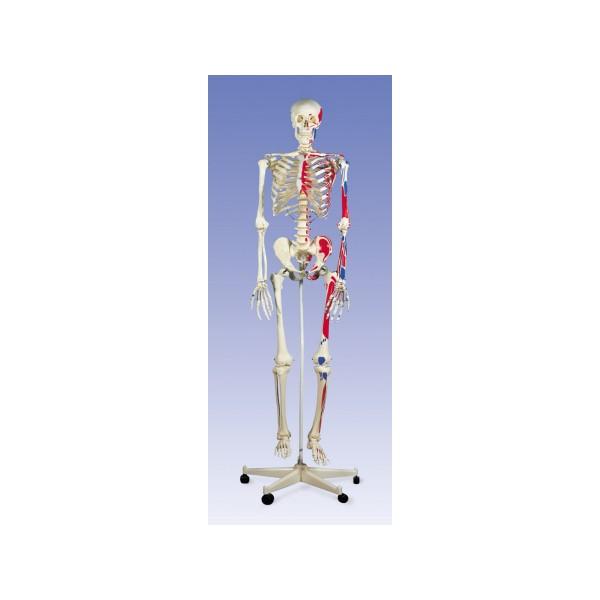 esqueletohumanorepresentaciondemusculos