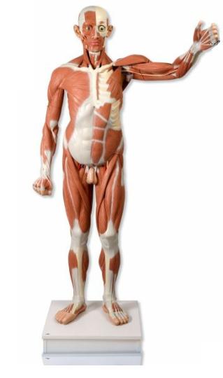 figuramuscularmasculina