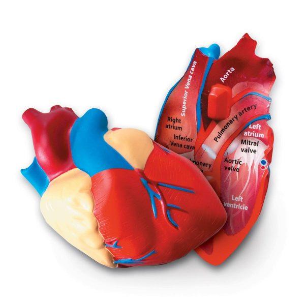 1902 heart 1