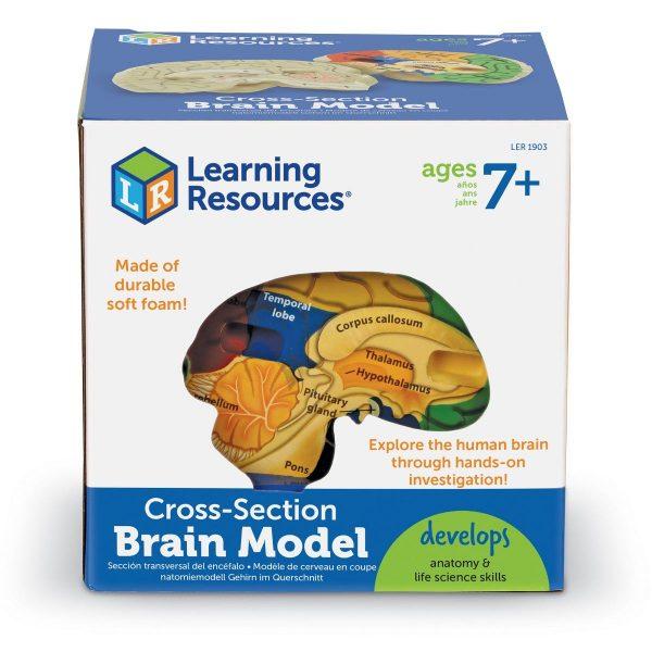 1903 cross section brain box nbr cnt sh 1
