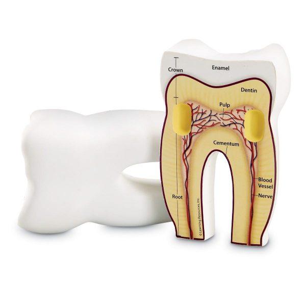 1904 toothcrssec sh 1