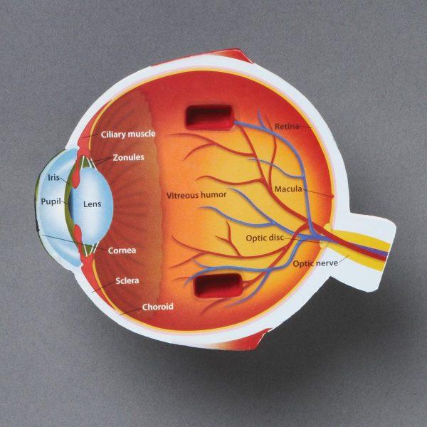 1970 eye model labeled1